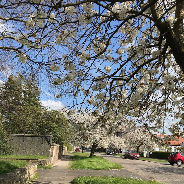 blossom in Helensburgh