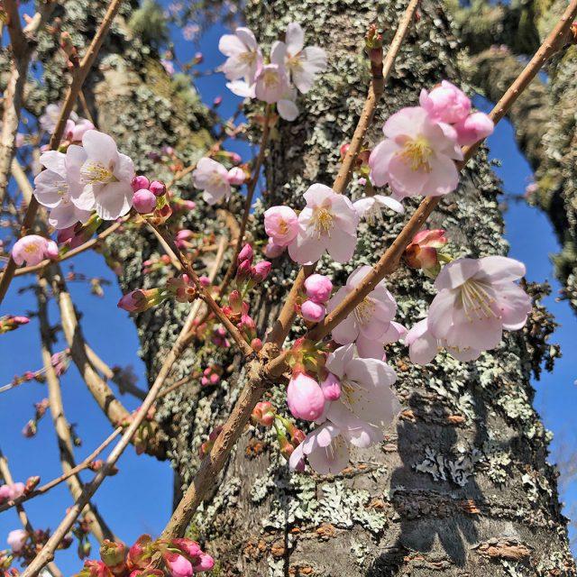 sakura in helensburgh